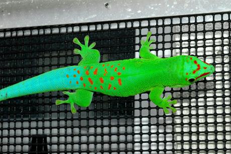 Blue Blood day gecko