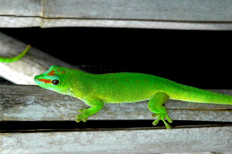 Patternless giant day gecko