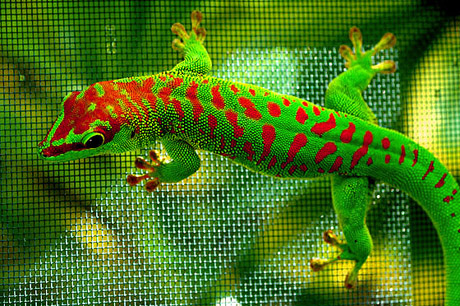 Cherry Head Giant Day Gecko