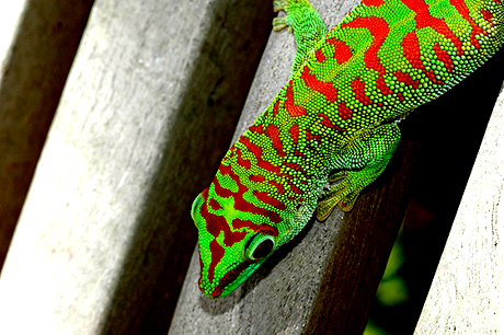 Crimson day gecko