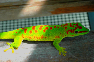 Super day gecko