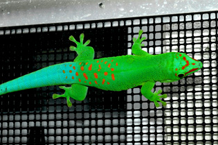 Blue blood giant day gecko, Phelsuma grandis