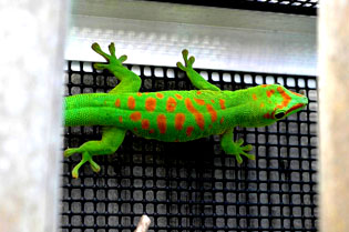 High red giant day gecko